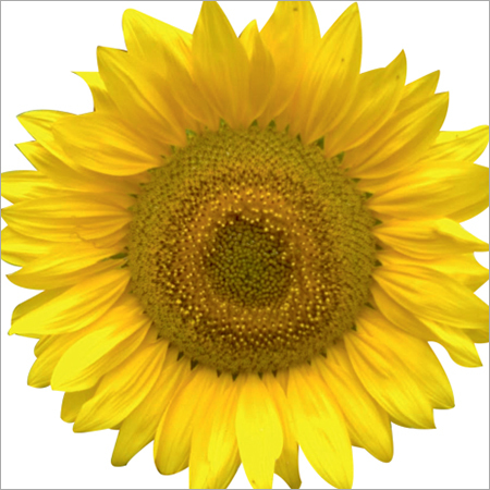 Rise Apsara Sunflower Seeds