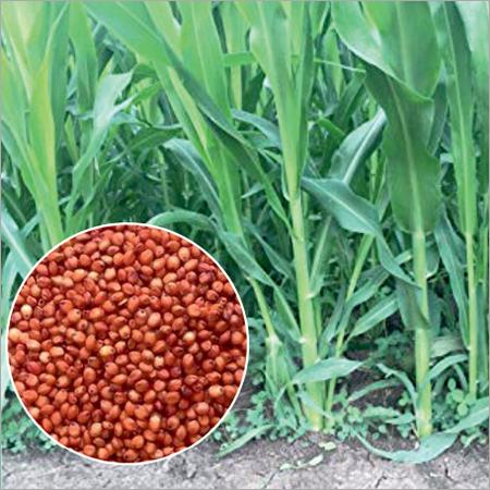 Sorghum Sudangrass Hybrids Seed