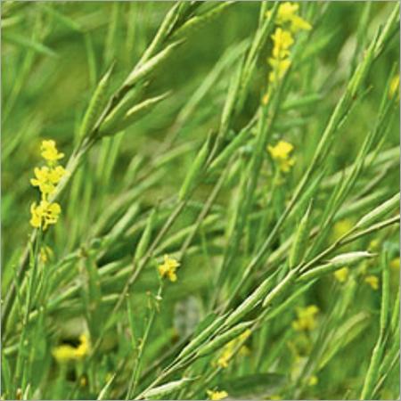 RAG-85(Black Beauty) Mustard Seeds