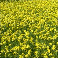 RAG-87(Gold Beauty) Mustard Seeds