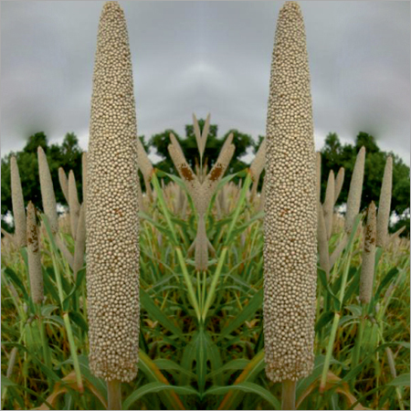 RAG-86 Prime Millet Seeds