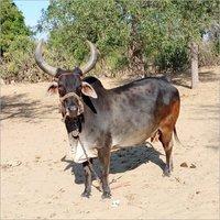 Kankrej Milled Cow