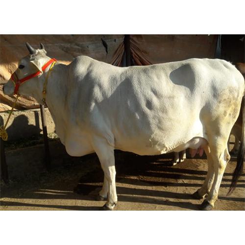 Original Breed Desi Cow