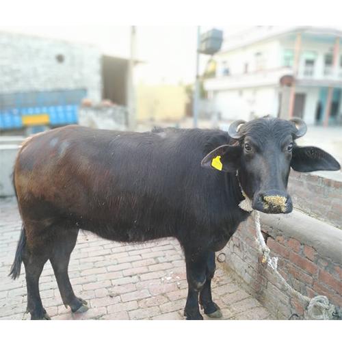 Pure Desi Murrah Buffalo