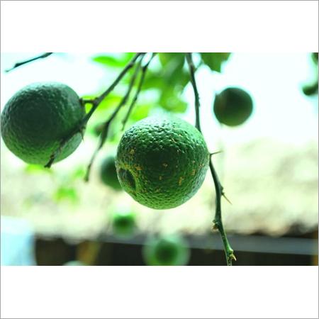 Assam Lemon ( Gol Nemu )