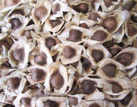 Moringa Seed / Drumstick Seed