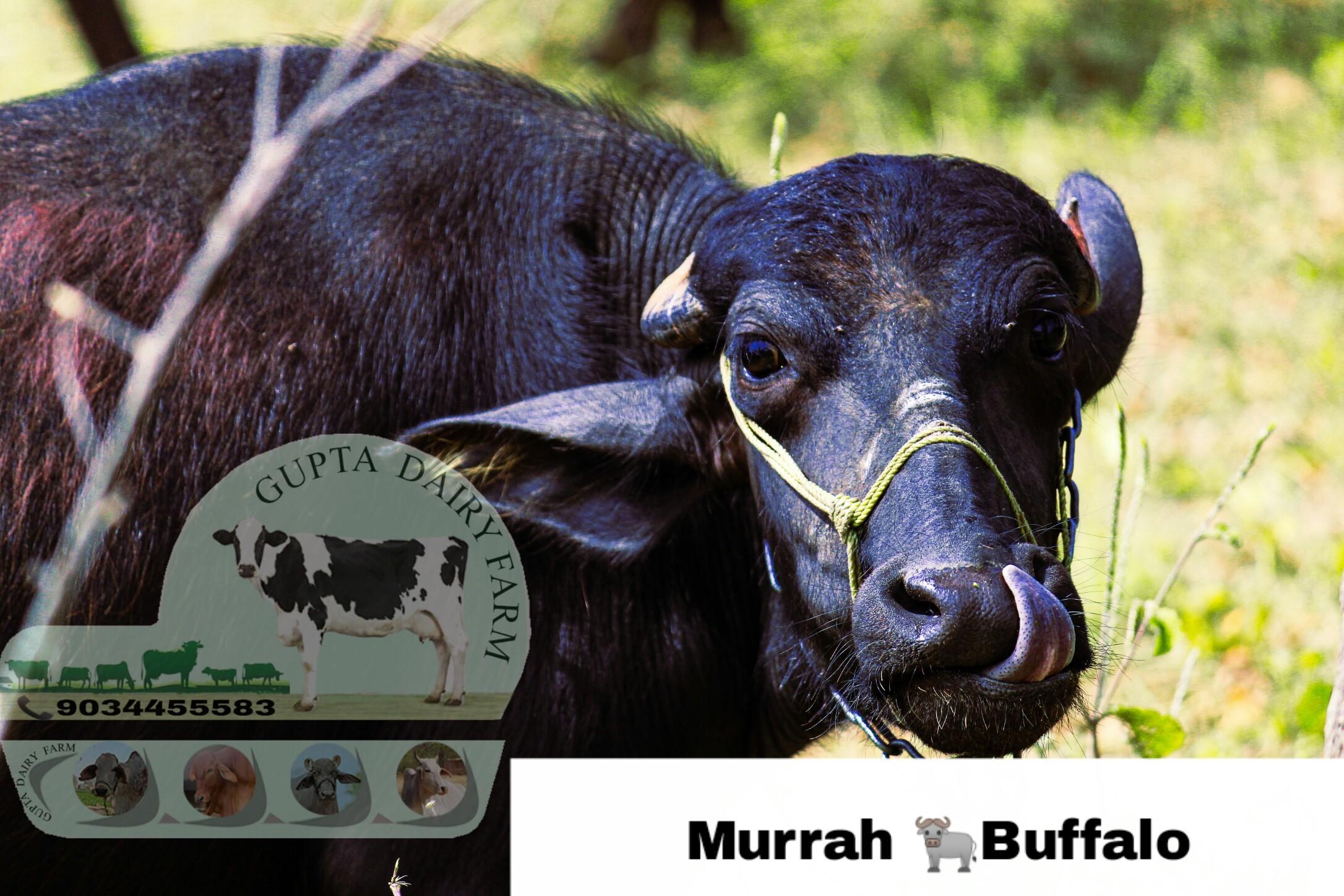High Quality Murrah Buffalo