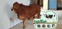 Brown Sahiwal Cow Supplier