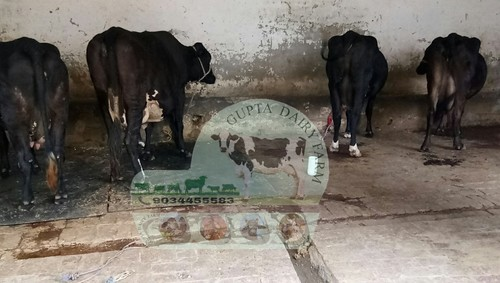 Crossbreed Cow Supplier