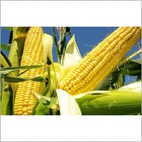 Natural Crop Maize