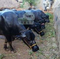 Murrah Buffalo In Haryana