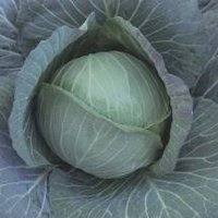 Cabbage Seed