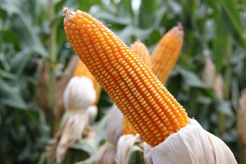 Maizel seed