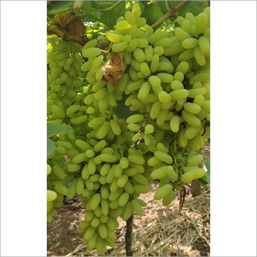 Super Sonaka Green Grapes