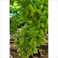 Super Sonaka Green Grapes