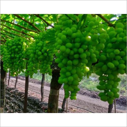 Natural Green Grapes