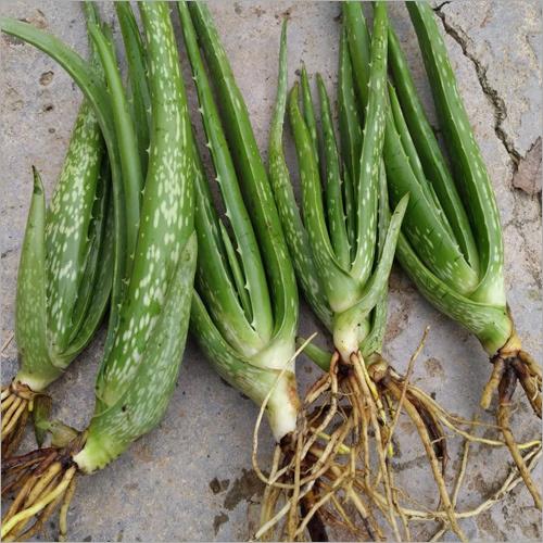 Aloevera Baby Plant