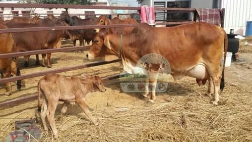 Jharkhand Sahiwal Cow