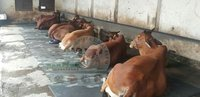 Pure Sahiwal Cow Supplier