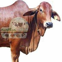 Brown Sahiwal Cow Supplier In Telangana