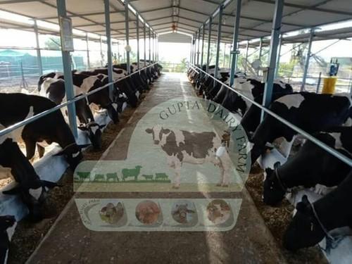 Pure HF Cow