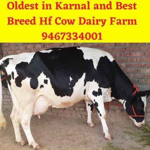 Jharkhand HF Cow