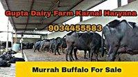 Best Murrah Breed Buffalo