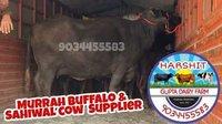 Black Murrah Buffalo Supplier In Gujarat