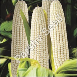 Hybrid White Maize 8000 Seeds