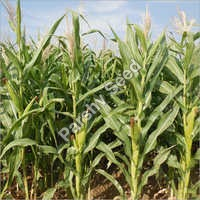 Hybrid Maize 9000 Seeds