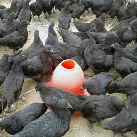 Live Kedarnath Chicken