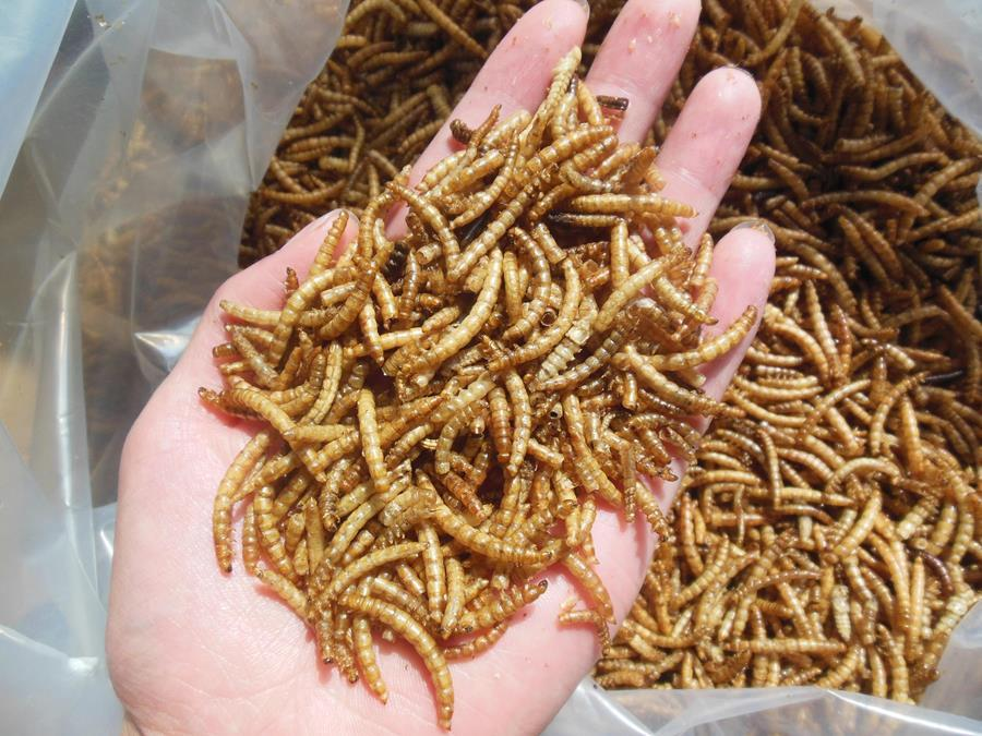 Microwave dried mealworms