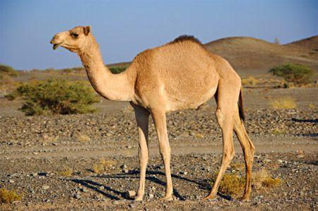 Natural Camel Milk