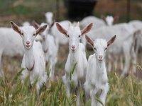 Natural Goat Milk
