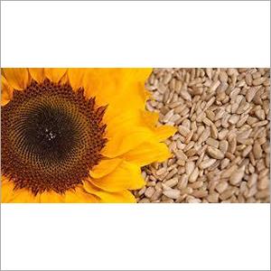 Sun Flower Extract