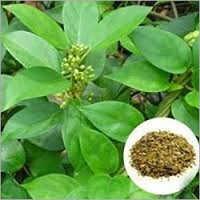 Gymnema Sylvestre Extract