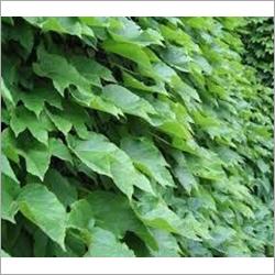 Ivy Powder Extract