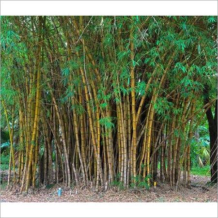 Long Bamboo Plant