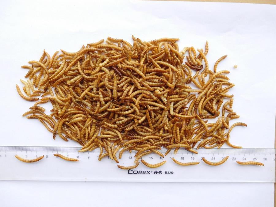 High nutritious dried meal worms for Poultry feed animal food
