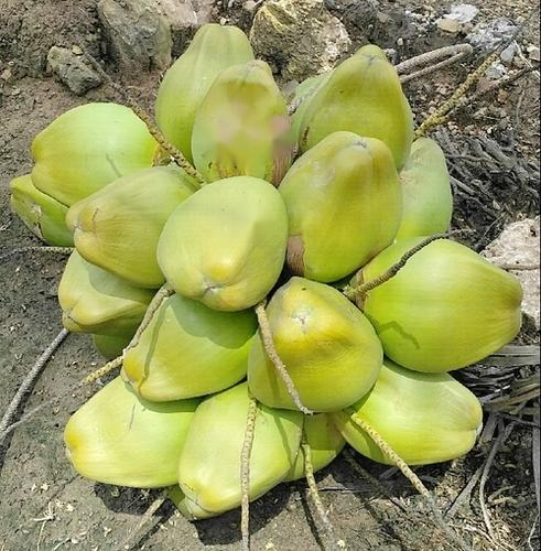 A Grade Fresh Green Coconut