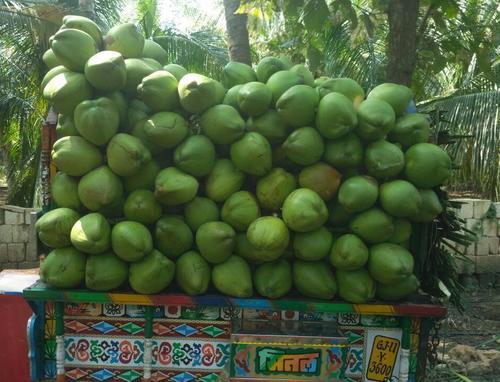 High Grade Fresh Green Coconut