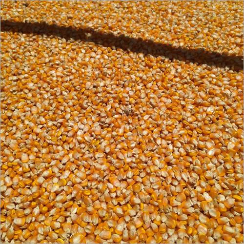 Yellow Maize Grains