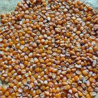 Dried Maize Grains