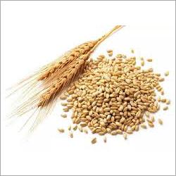 Wheat Protein Grain