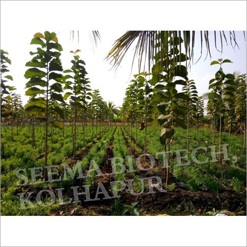11 Months Teak Plant