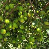 Desi Lemon Plant