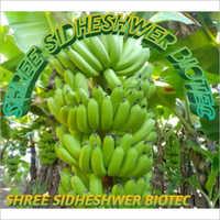 Desi Banana Plant