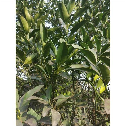 Kagaji Lemon Plant