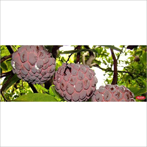 Red Custard Apple Plant