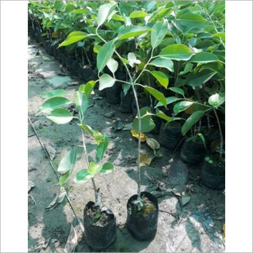 Well Watered Thai Black Jamun Plant